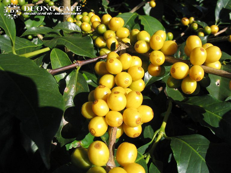 yellow-Bourbon_Coffee